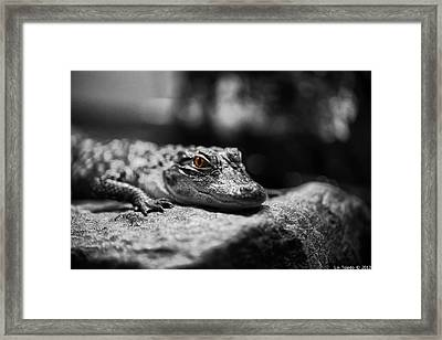 The Alligator's Eying You Framed Print by Linda Leeming