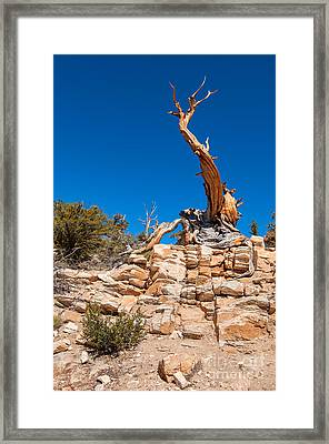 The Altar -the Ancient Bristlecone Pine Tree. Framed Print by Jamie Pham