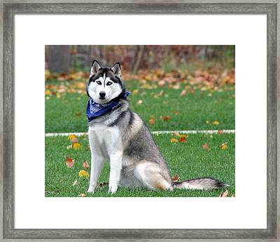 The American Eskimo Framed Print by Rhonda Humphreys