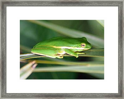 The American Green Tree Frog Framed Print by Kim Pate
