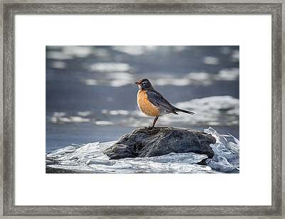 The American Robin Framed Print by Bill Wakeley