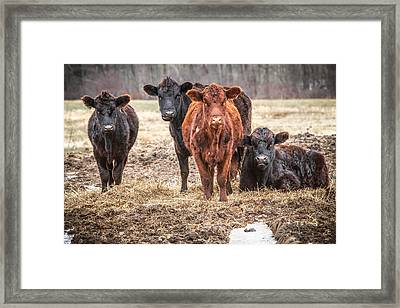 The Angry Cows Framed Print