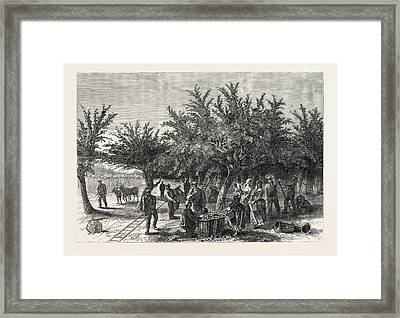 The Apple Harvest In Jersey Framed Print
