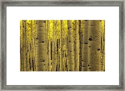 The Aspen Tree Forest Framed Print