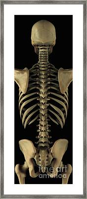The Axial Skeleton Framed Print