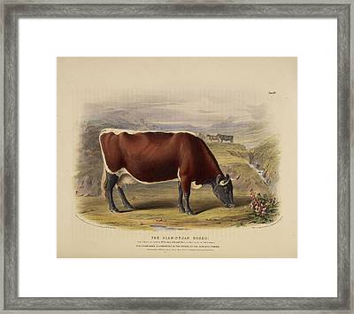 The Ayshire Breed Framed Print by British Library