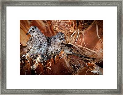 The Baby Inca Doves Framed Print by Robert Bales
