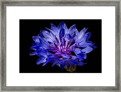 The Bachelor's Button Framed Print by Eduard Moldoveanu
