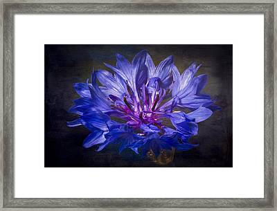The Bachelor's Button Textured Framed Print by Eduard Moldoveanu