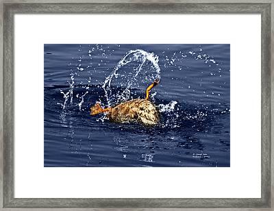 The Backstroke - Mallard Framed Print by James Ahn