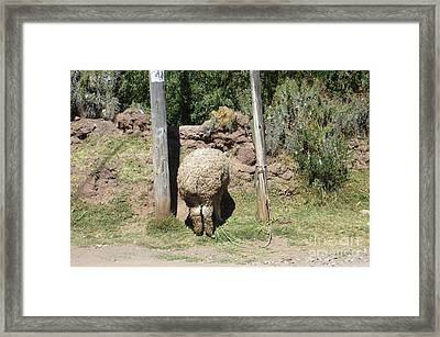 The Bashful Llama Framed Print