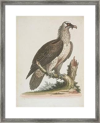 The Bearded Vulture Framed Print