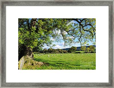 The Beautiful Cheshire Countryside - Large Oak Tree Frames A Field Of Lambs Framed Print