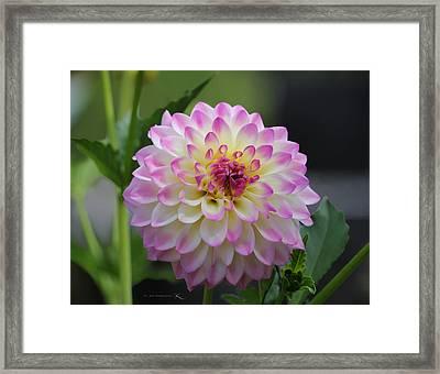 The Beautiful Dahlia Framed Print