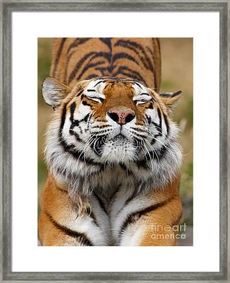 The Beautiful Siberian Tiger Framed Print by Boon Mee