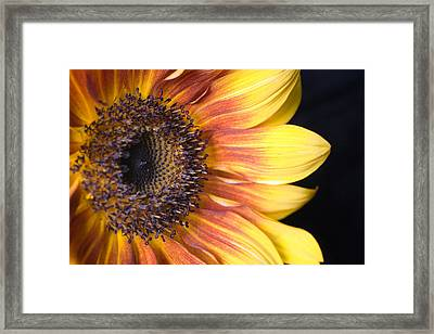 The Beautiful Sunflower Framed Print by Scott Campbell