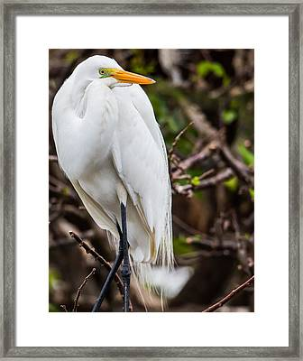 The Beauty Of A Great Egret Framed Print by Andres Leon