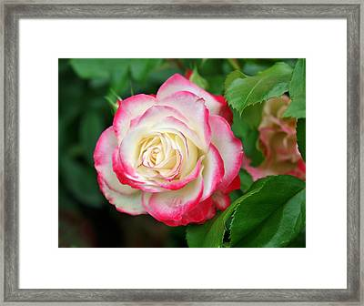 The Beauty Of An Open Rose Framed Print by Cathie Tyler