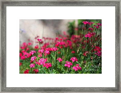 The Beauty Of Maiden Pinks Framed Print