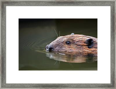 The Beaver Framed Print by Bill Wakeley