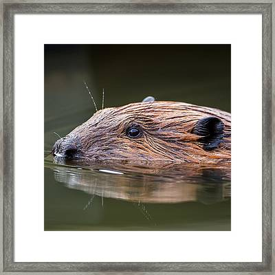 The Beaver Square Framed Print by Bill Wakeley