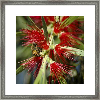 The Bee And Bottlebrush Framed Print by Carolyn Marshall