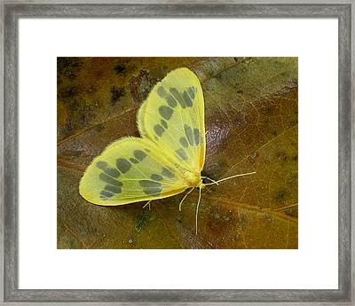 Framed Print featuring the photograph The Beggar Moth by William Tanneberger