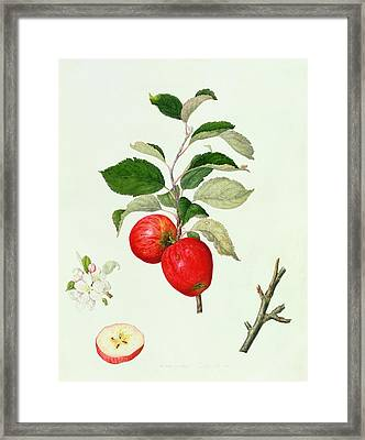 The Belle Scarlet Apple Framed Print by Barbara Cotton