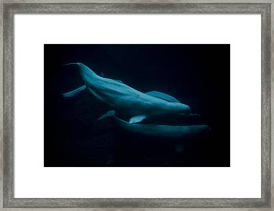 The Beluga Whales Framed Print by Jessica Berlin
