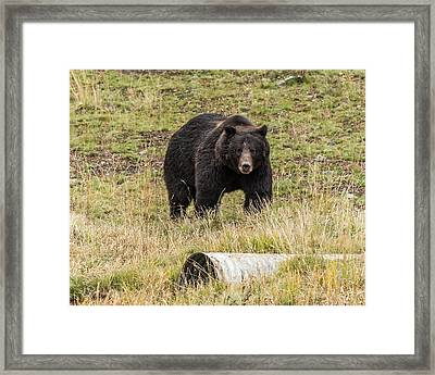 Framed Print featuring the photograph The Big Black Grizzly Boar by Yeates Photography