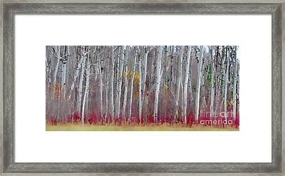 The Birches Panorama  Framed Print