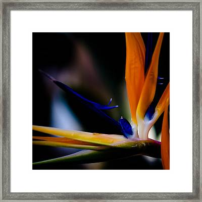 The Bird Of Paradise Framed Print by David Patterson
