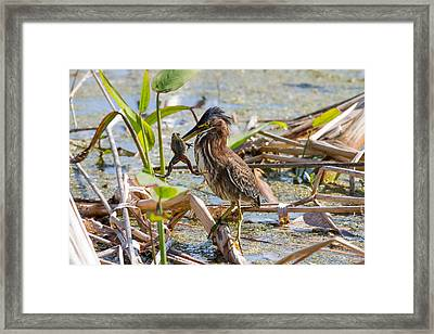 Framed Print featuring the photograph Green Heron And Frog by Phil Stone