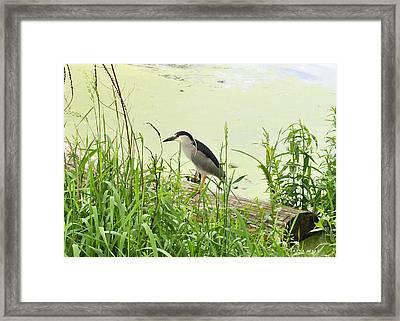 The Black-crowned Night Heron Framed Print