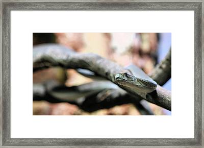 The Black Mamba Framed Print