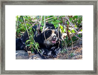 The Black Spectacled Bear Is The Only Framed Print