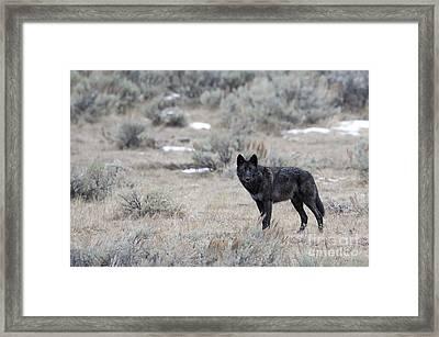 The Black Wolf Framed Print