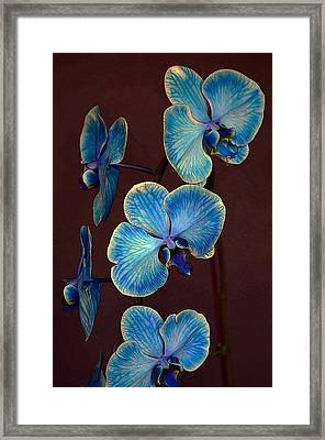 The Blue Orchid Framed Print