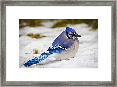 The Bluejay Framed Print