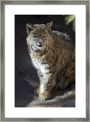 The Bobcat Framed Print by Saija  Lehtonen