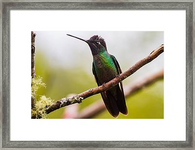 The Body Of A Hummingbird Framed Print by Andres Leon