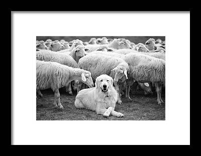 Cattle Dog Framed Prints