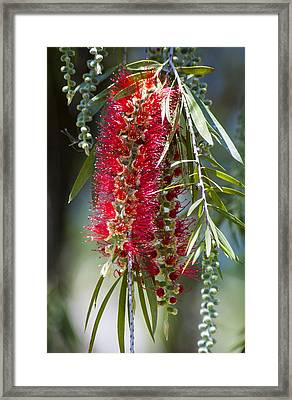 The Bottlebrush Tree Framed Print by Carolyn Marshall