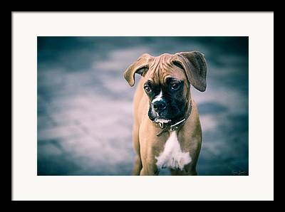Boxer Puppy Photographs Framed Prints