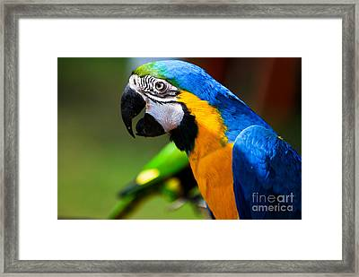 The Brazilian Parrot Framed Print by Syed Aqueel