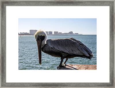The Brown Pelican  Framed Print by Zina Stromberg