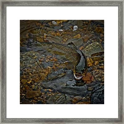 The Brown Trout Framed Print by Ernie Echols