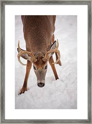 The Buck Stare Framed Print by Karol Livote