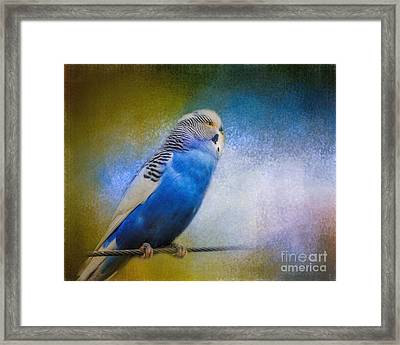 The Budgie Collection - Budgie 2 Framed Print by Jai Johnson