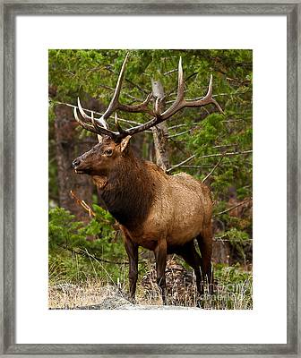 Framed Print featuring the photograph The Bull Elk by Steven Reed